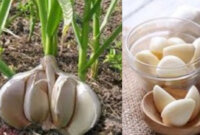 Bawang Putih untuk Penderita Diabetes